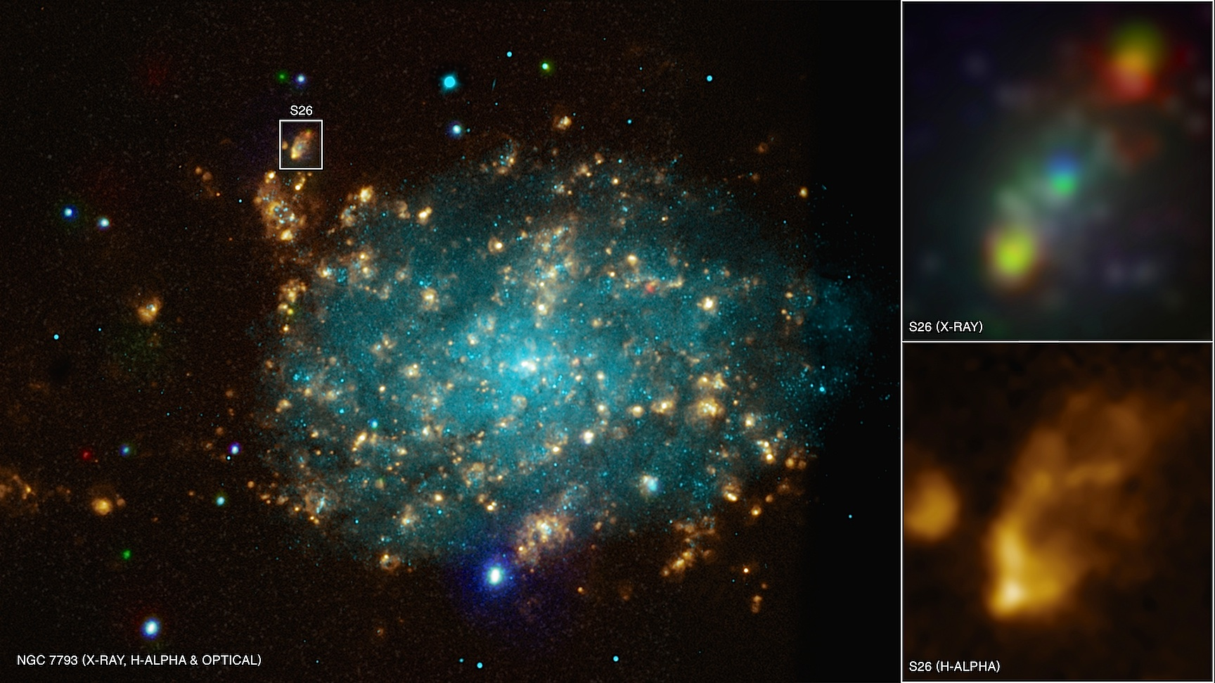 Combined data from Chandra (red, green, and blue) as well as optical light (light blue) and hydrogen emission (gold) reveals a microquasar in the galaxy NGC 7793.  This system contains a stellar-mass black hole that is being fed by a companion star, shown in X-rays in the upper inset.  Material falling onto the black hole is blowing outward via two powerful jets that plow into the surrounding gas and heat it.  The lower inset shows the nebula that is being illuminated by the output from these jets.